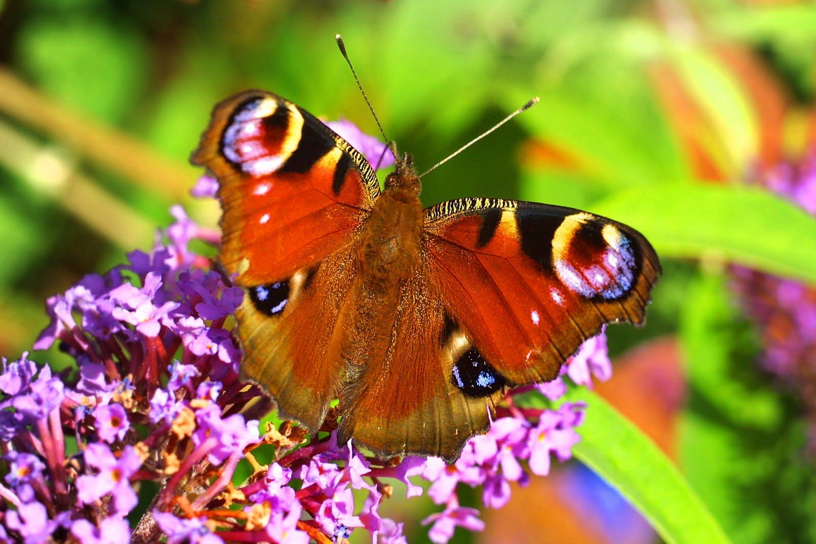 Peacock_butterfly_on_buddleja_davidii